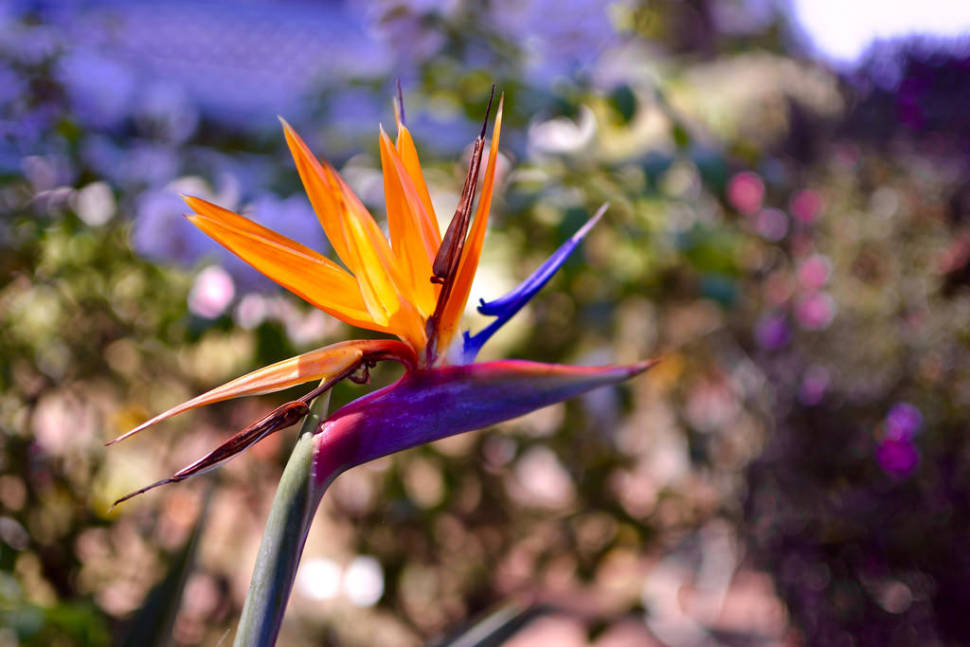 Bird of Paradise in Los Angeles - Best Time