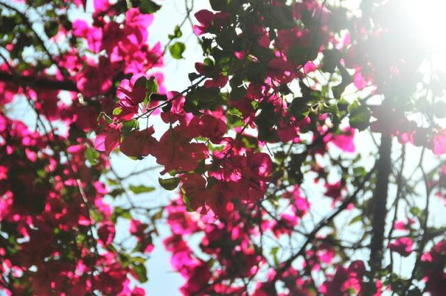 Best time for Bougainvillea Bloom in Los Angeles