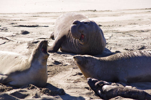 Best time for Elephant Seal Watching