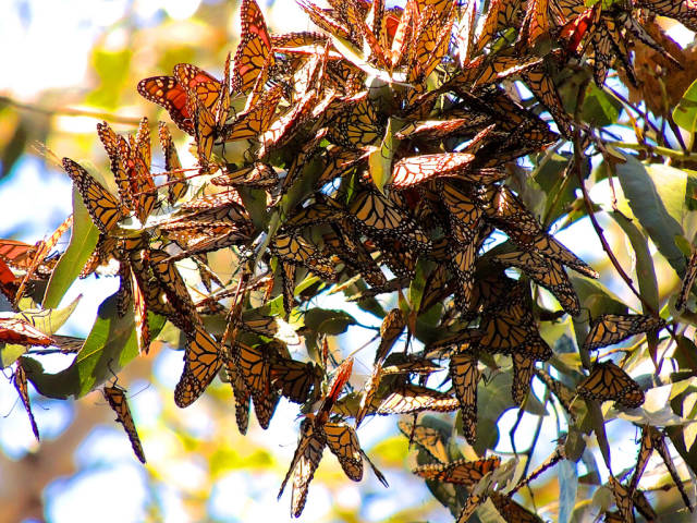 Best time for Goleta Monarch Butterfly Grove  in Los Angeles
