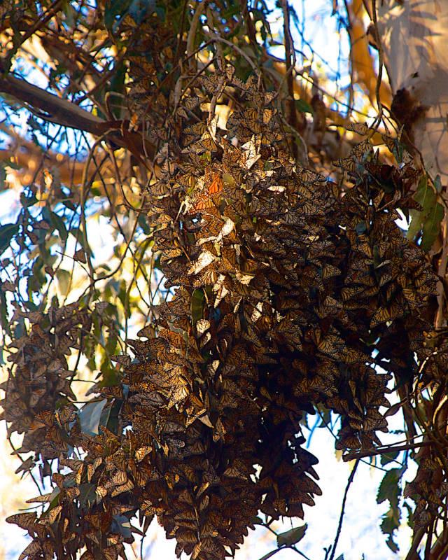 Goleta Monarch Butterfly Grove  in Los Angeles - Best Season