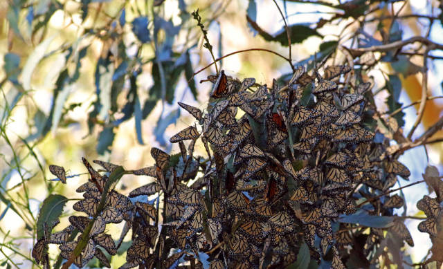 Best time to see Goleta Monarch Butterfly Grove  in Los Angeles