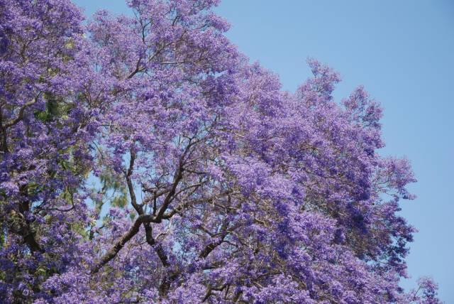 Jacarandas in Bloom in Los Angeles - Best Season