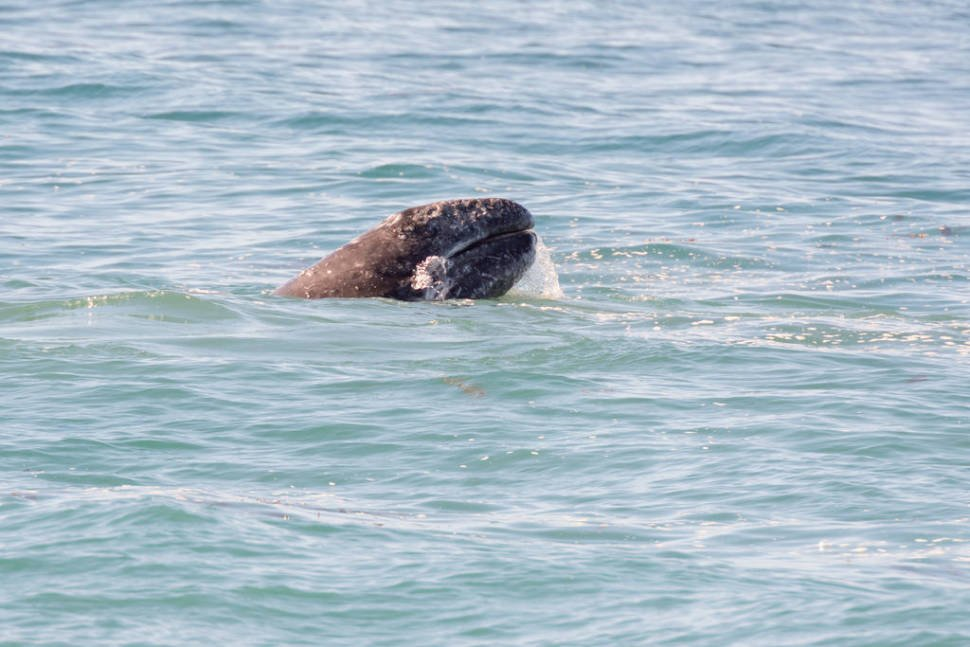 Gray Whale along its northbound migration hugging the California coastline, USA.