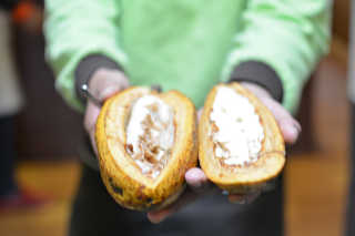 Cacao Harvest Season