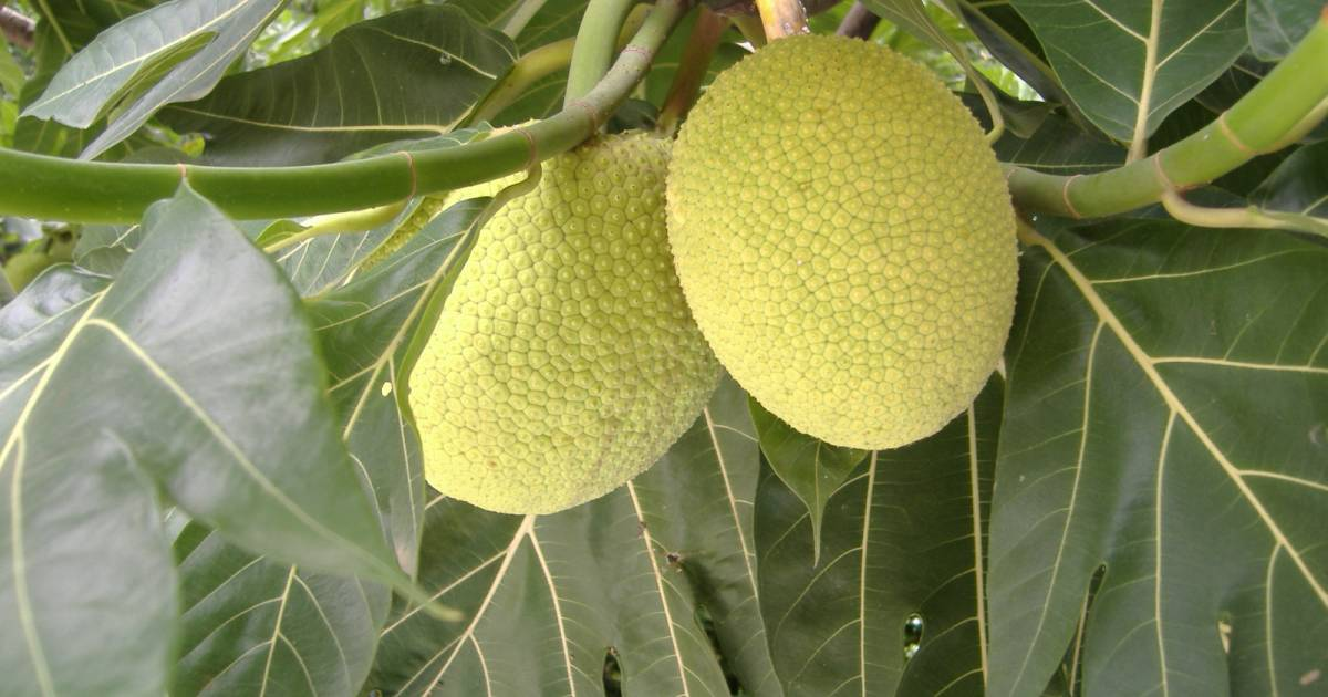 Breadfruit Season in Madagascar - Best Time