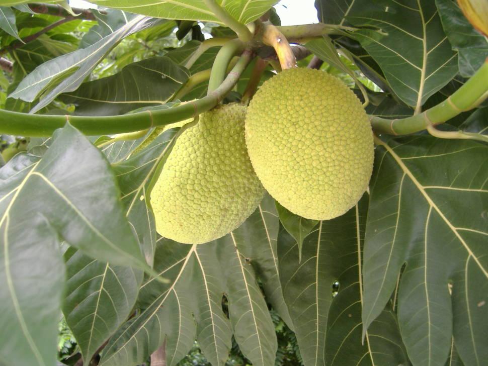 Breadfruits Season in Madagascar - Best Time