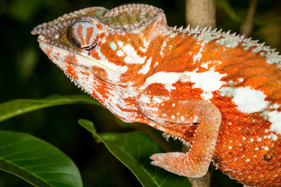 Chameleons in Madagascar - Best Season