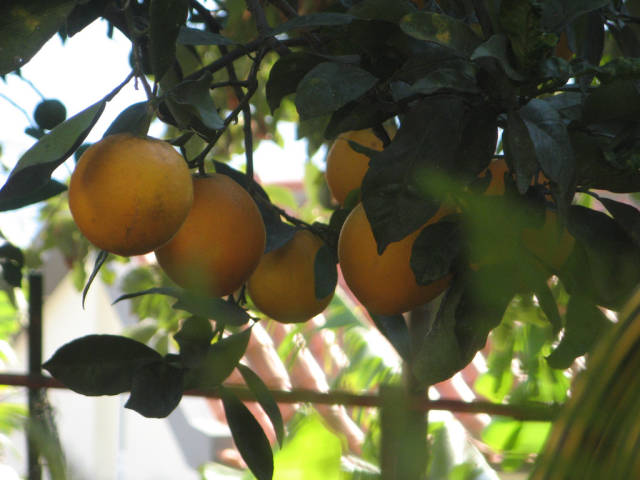 Citrus Season and Special Cake in Madeira - Best Time