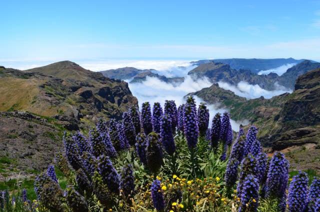 Echium or Pride of Madeira in Madeira - Best Season