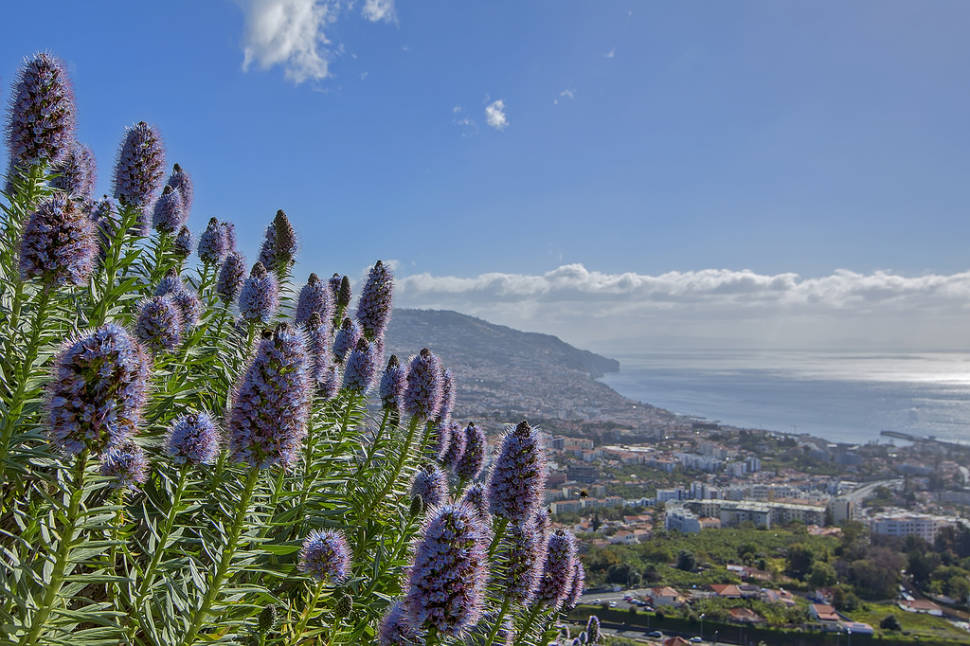 Echium or Pride of Madeira in Madeira - Best Time