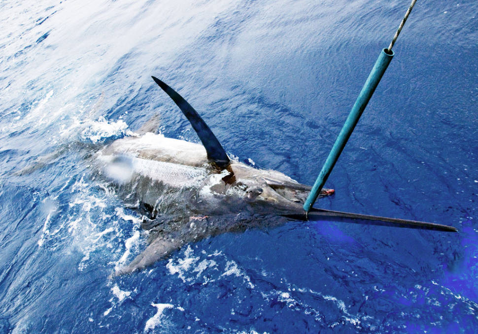 Fishing Blue Marlin in Madeira - Best Time