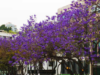 Jacaranda Trees in Bloom