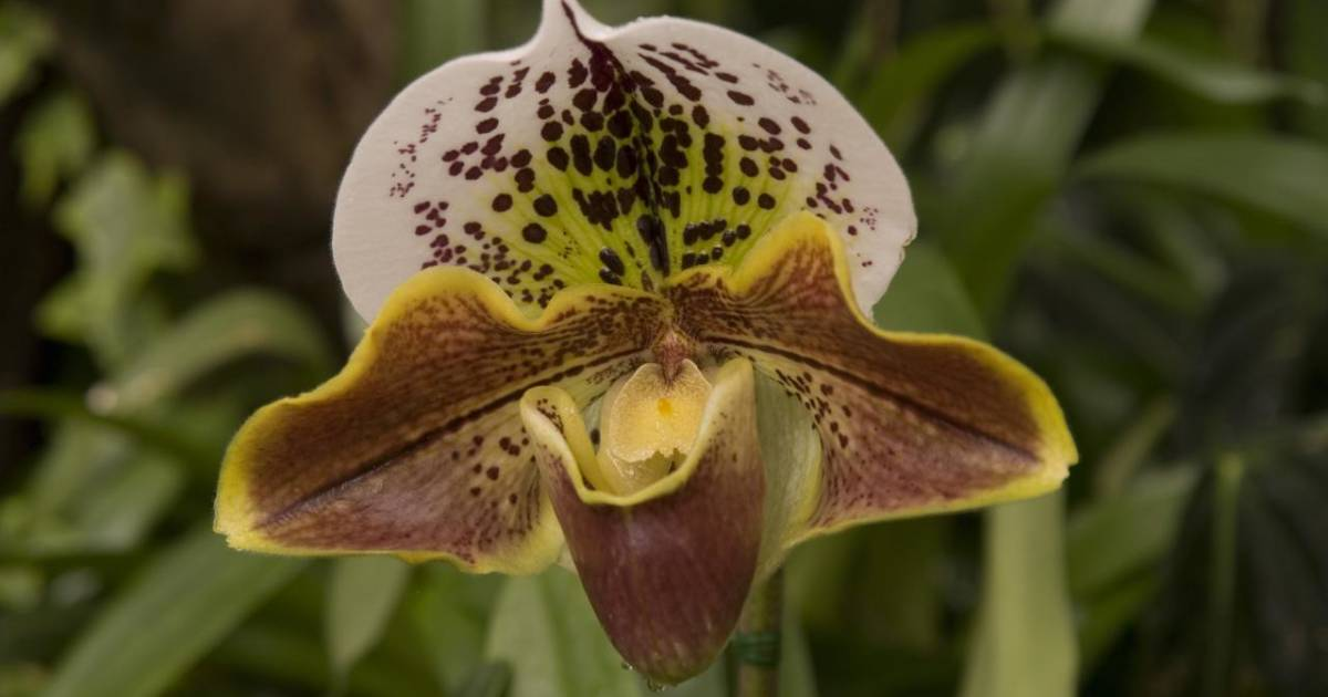 """""""Lady Slipper"""" Orchid for Christmas in Madeira - Best Time"""