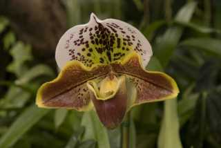 """Lady Slipper"" Orchid for Christmas"