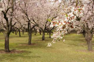 Almond Blossoms in Quinta de Los Molinos
