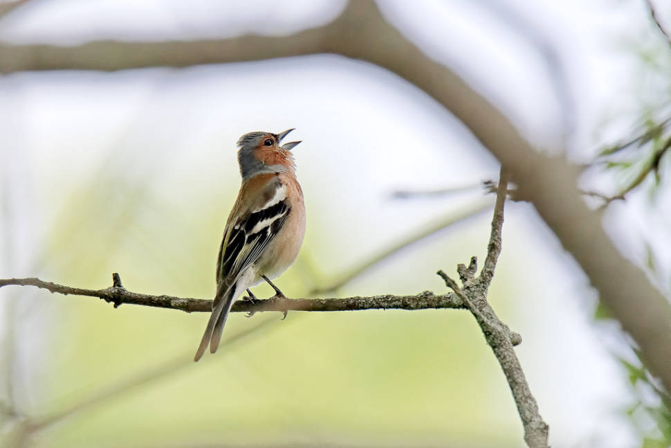 Singing male chaffinch (Fringilla coelebs)