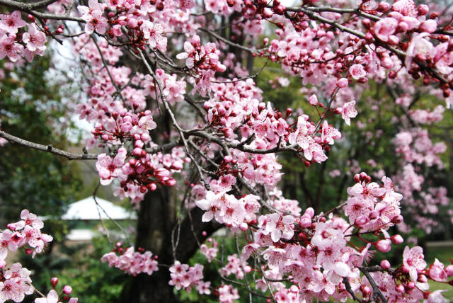 Cherry Blossoms in Madrid - Best Time
