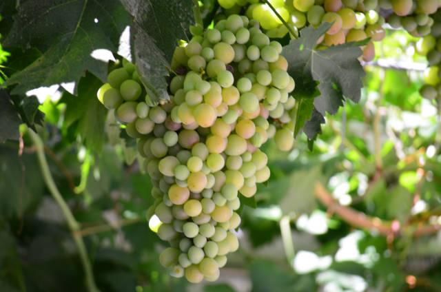 Grape Harvest in Madrid - Best Time