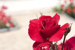 La Rosaleda (Rose Garden)