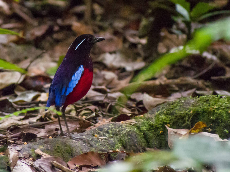 Black-crowned pitta