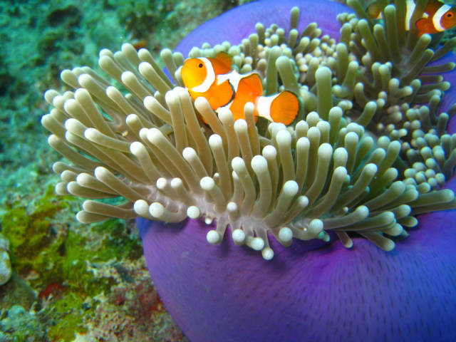 Clownfish off the Sipadan Island