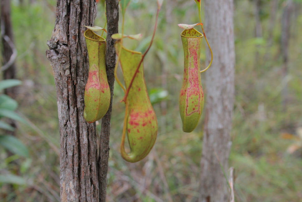 Pitcher Plant or Nepenthes in Malaysia - Best Season