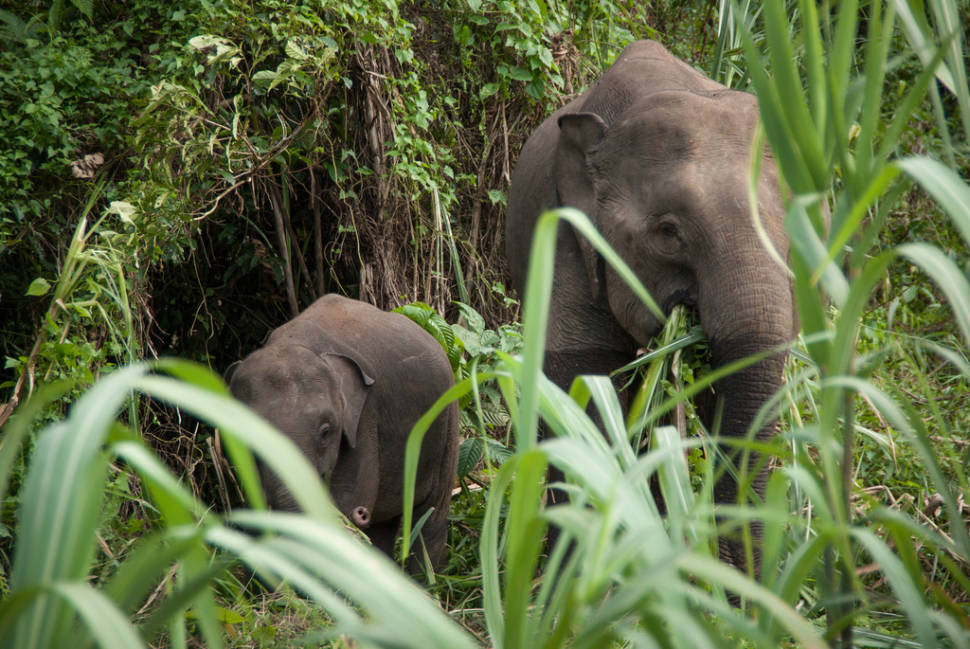 Best time for Pygmy Elephants in Malaysia