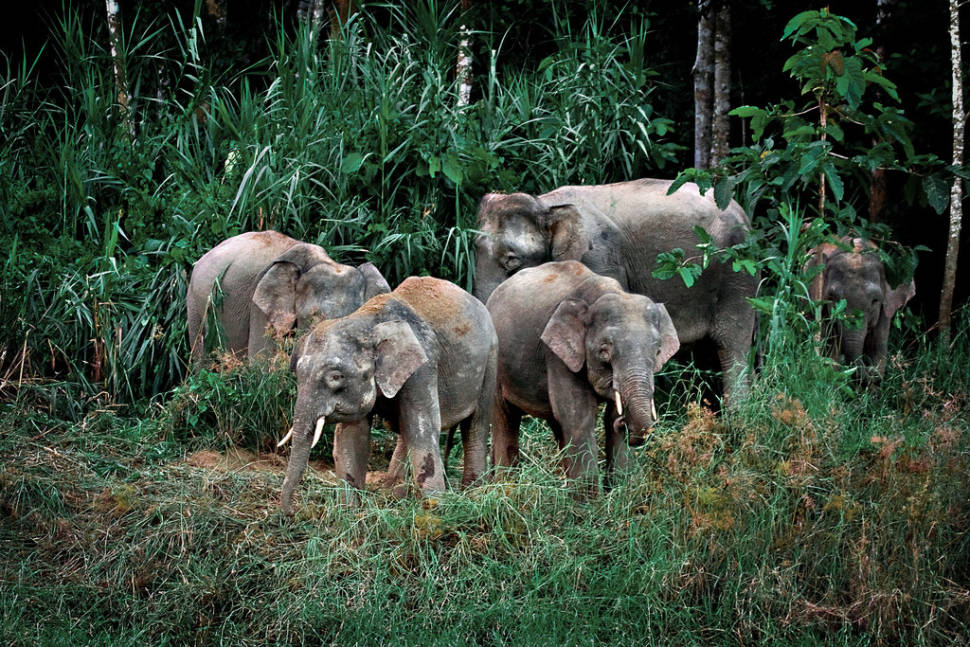 Best time to see Pygmy Elephants in Malaysia