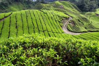 Tea Plantations and Pulled Tea