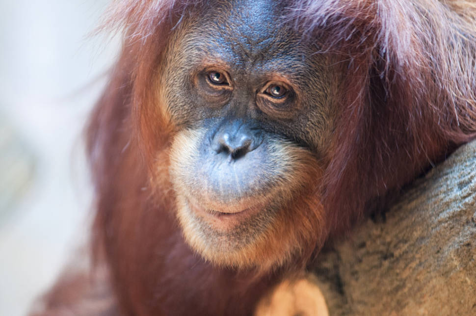 Best time for Watching Orangutans in Malaysia