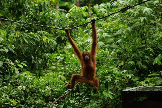 Best time to see Watching Orangutans in Malaysia