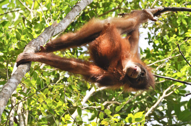 Watching Orangutans in Malaysia - Best Time