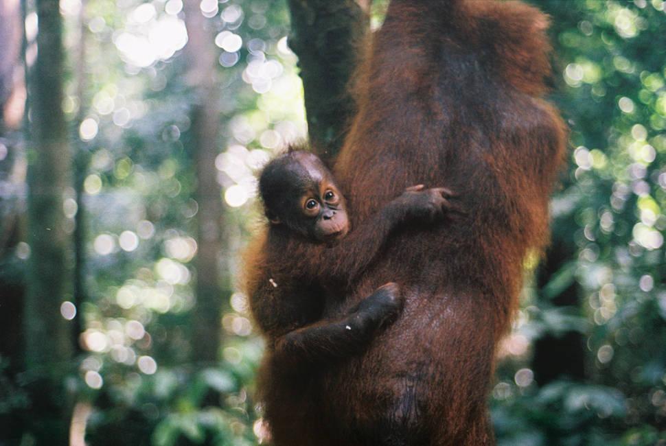 Watching Orangutans in Malaysia - Best Season
