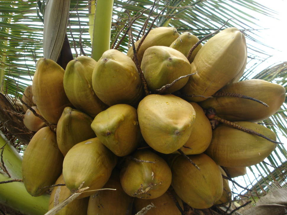 Coconuts in Maldives - Best Time