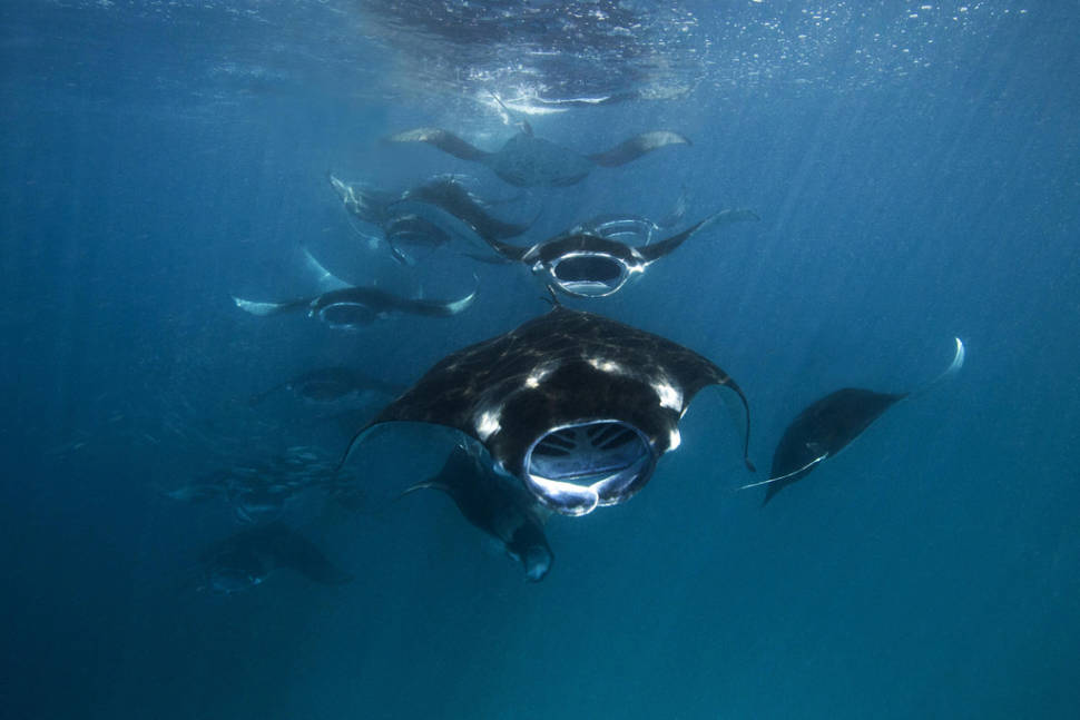 Manta Rays in Baa Atoll in Maldives - Best Time