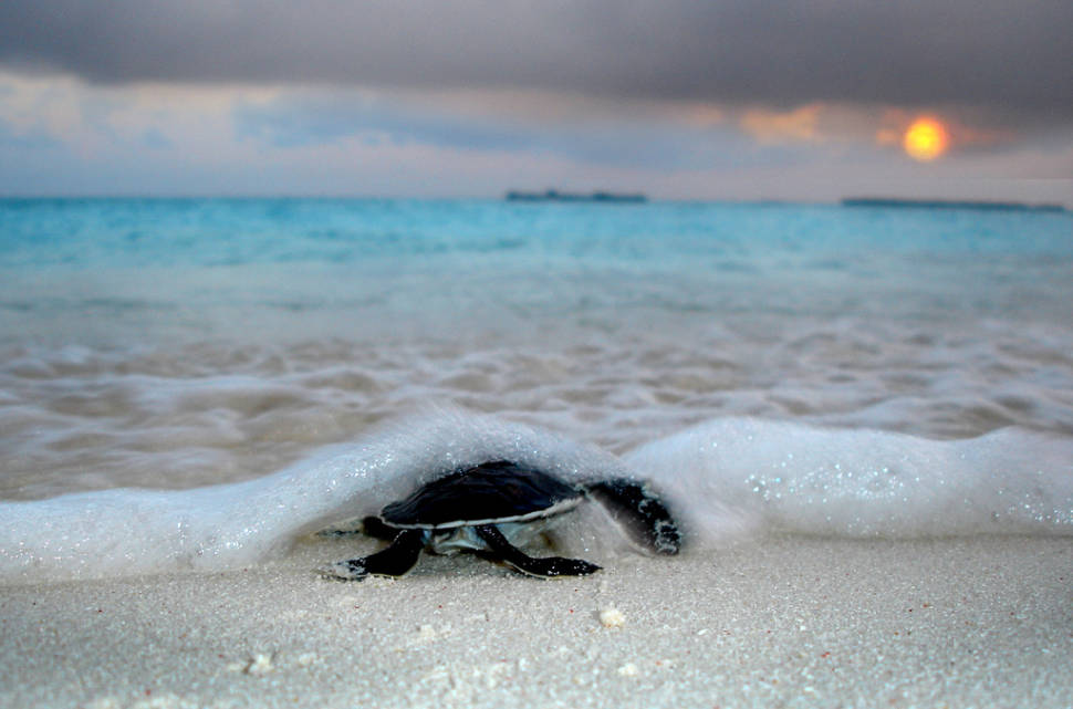Sea Turtle Hatching in Maldives - Best Time