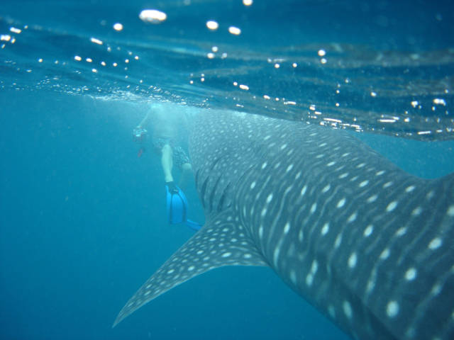 Best time for Whale Sharks in Maldives
