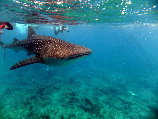 Whale Sharks in Maldives - Best Time