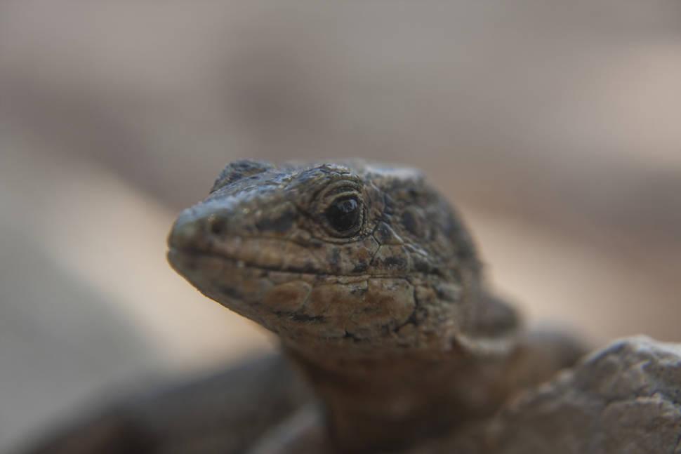 Lizards of Sa Dragonera in Mallorca - Best Season