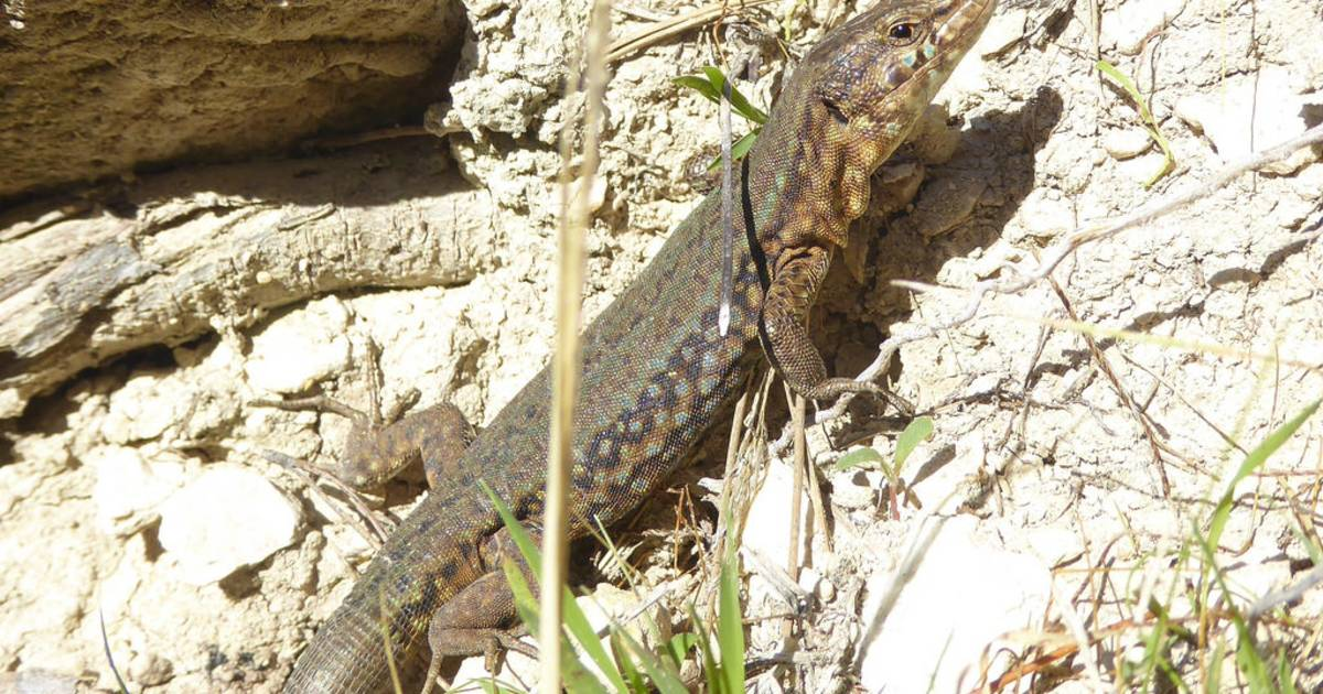 Lizards of Sa Dragonera in Mallorca - Best Time