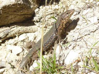 Lizards of Sa Dragonera