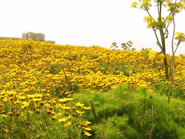 Crown Daisy or Lellux Blooming in Malta - Best Season