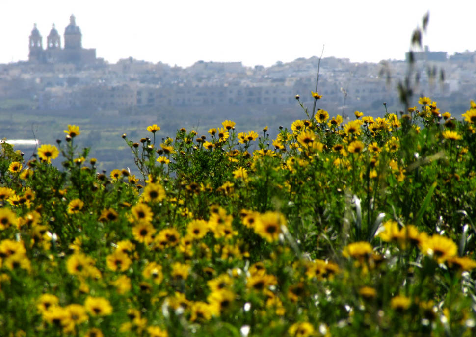 Crown Daisy or Lellux Blooming in Malta - Best Time