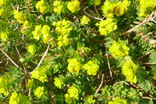 Maltese Spurge Flowering Season