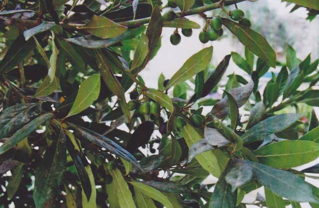 Olives in Malta - Best Season