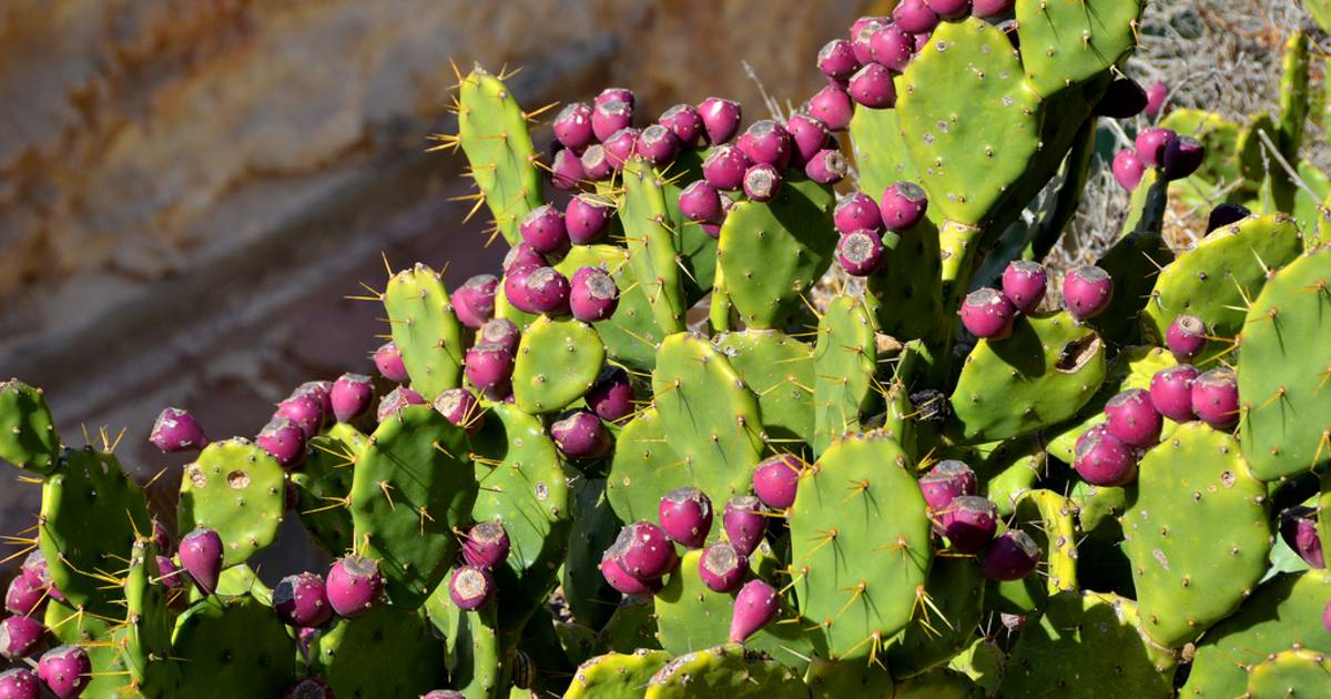 Prickly Pear in Malta - Best Time