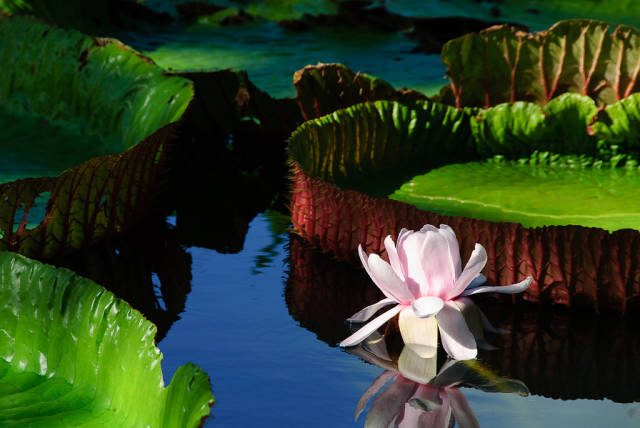 Best time for Giant Water Lilies in Mauritius
