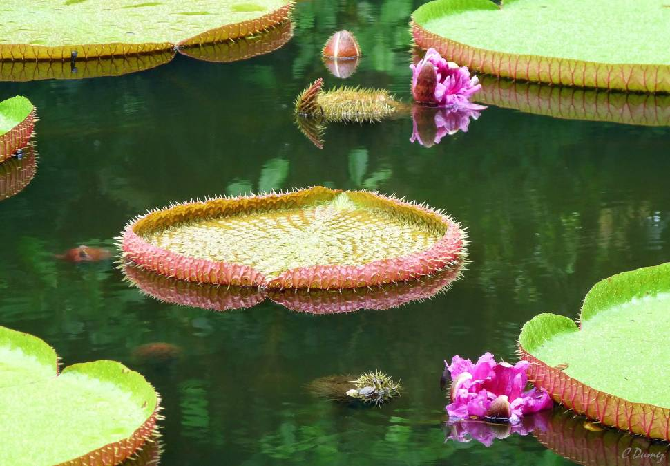 Giant Water Lilies in Mauritius - Best Time