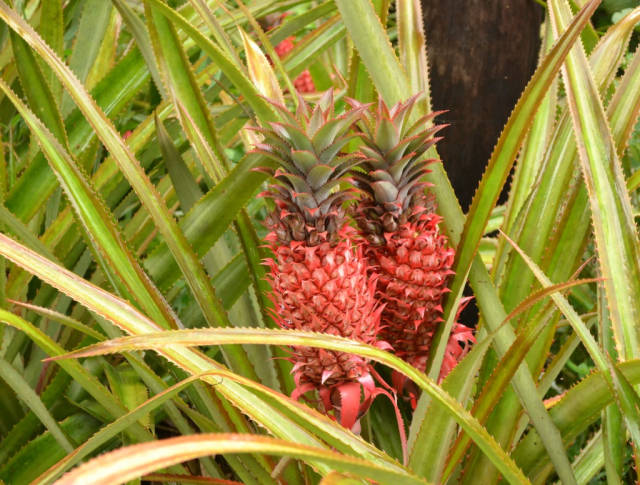 Pineapple Season in Mauritius - Best Time